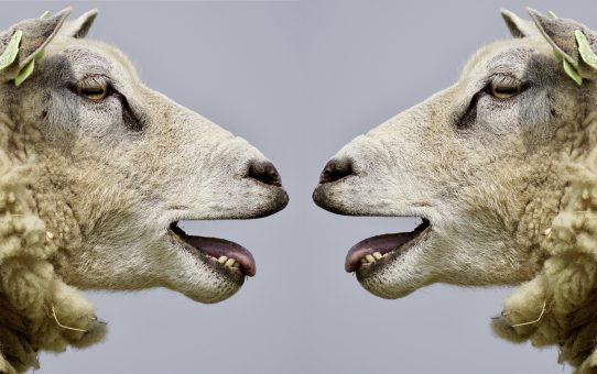 Koyunlar Nasıl Geviş Getirir?